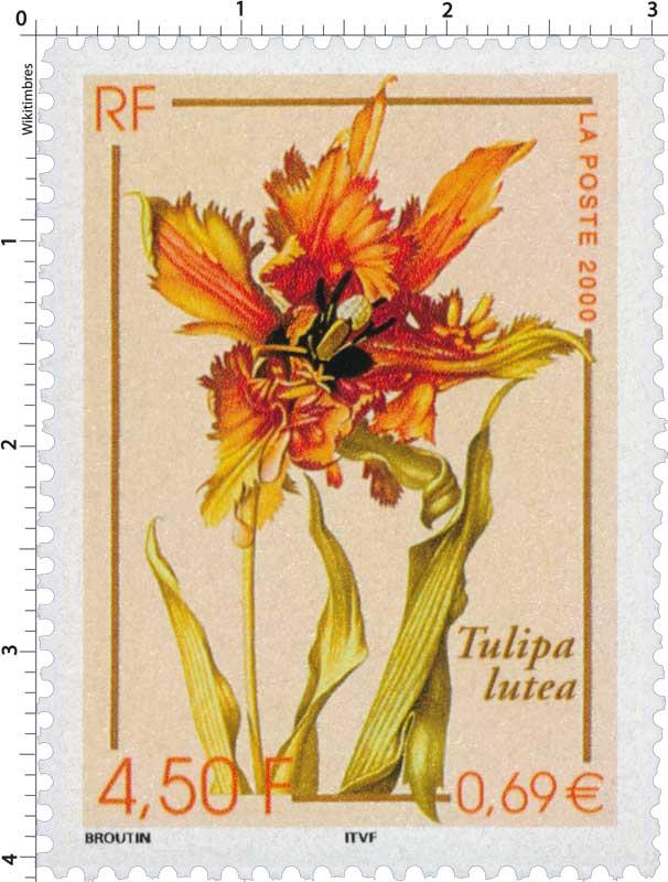2000 Tulipa lutea